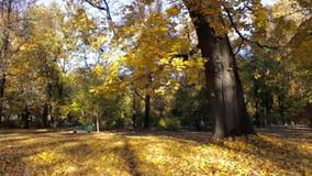 Árboles coloreados de oro coloridos almacen de video