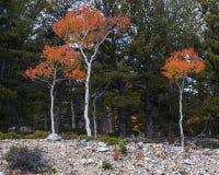 Árboles coloridos de Aspen Imágenes de archivo libres de regalías
