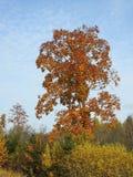 Árboles coloridos del otoño en el bosque, Lituania Imágenes de archivo libres de regalías