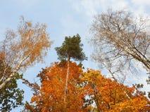 Árboles coloridos del otoño en el bosque, Lituania Fotografía de archivo