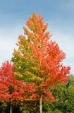 Árboles coloridos en otoño Imágenes de archivo libres de regalías
