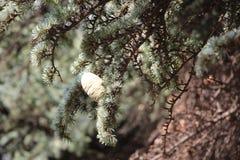 Árboles coníferos Foto de archivo