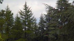 Árboles coníferos contra el contexto de un cielo cubierto almacen de metraje de vídeo