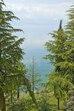 Árboles coníferos en la orilla del lago Ohrid. Imagen de archivo