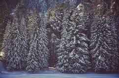 árboles coníferos, matorrales del bosque verde Fotos de archivo