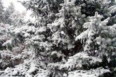 Árboles coníferos Nevado Imágenes de archivo libres de regalías
