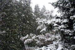 Árboles coníferos Nevado Fotos de archivo