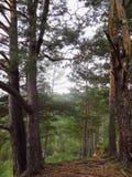 Árboles coníferos a punto de la rotura de la montaña Foto de archivo