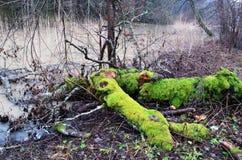 Árboles con el musgo verde claro en el bosque Imagen de archivo libre de regalías