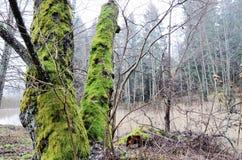 Árboles con el musgo verde claro en el bosque Foto de archivo libre de regalías
