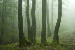 Árboles con el musgo verde en un bosque verde con niebla Imagen de archivo libre de regalías