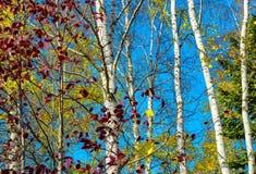 Árboles con follaje, el abedul y la picea amarillos y púrpuras en un fondo del cielo azul brillante Fotos de archivo libres de regalías
