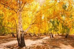 Árboles con las hojas amarillas en bosque del otoño Fotografía de archivo