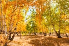 Árboles con las hojas amarillas en el bosque Fotos de archivo
