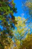 Árboles con las hojas coloridas debajo del cielo azul en el bosque ruso de la reserva en otoño Fotografía de archivo