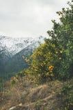 Árboles con las naranjas maduras salvajes y las montañas nevosas, Alanya, Turquía Foto de archivo libre de regalías