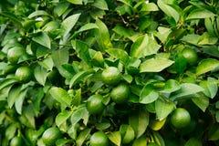 Árboles con los limones Imagen de archivo