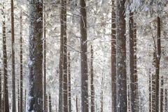 Árboles congelados helados de la conífera en el bosque Imagenes de archivo
