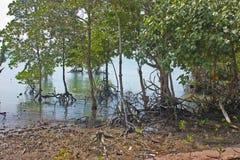 Árboles costeros del mangle Imágenes de archivo libres de regalías