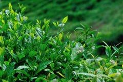Árboles crecientes del té verde Imágenes de archivo libres de regalías