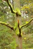 Árboles cubiertos con el musgo Foto de archivo libre de regalías