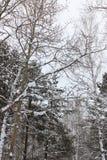 Árboles cubiertos con nieve Imagenes de archivo
