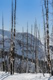 Árboles de álamo blanco quemados en la nieve fotografía de archivo libre de regalías