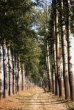 Árboles de álamo del vesture de la niebla fotografía de archivo libre de regalías