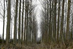 Árboles de álamo deshojados en el invierno Fotografía de archivo