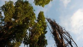 Árboles de álamo en el fondo del cielo azul puro Foto de archivo libre de regalías