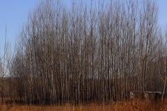 Árboles de álamo en invierno Fotos de archivo libres de regalías