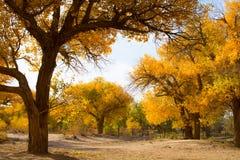 Árboles de álamo en la estación del otoño Fotografía de archivo