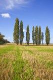 Árboles de álamo en un campo asoleado Fotografía de archivo
