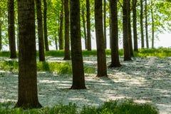 Árboles de álamo y polen blanco en un bosque en primavera Imagen de archivo