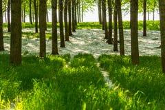 Árboles de álamo y polen blanco en un bosque en primavera Fotos de archivo