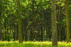 Árboles de álamo y polen blanco en un bosque en primavera Imágenes de archivo libres de regalías
