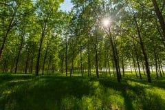 Árboles de álamo y polen blanco en un bosque en primavera Foto de archivo libre de regalías