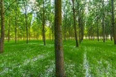 Árboles de álamo y polen blanco en un bosque en primavera Imagen de archivo libre de regalías