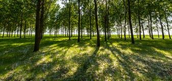 Árboles de álamo y polen blanco en un bosque en primavera Fotos de archivo libres de regalías