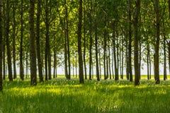 Árboles de álamo y polen blanco en un bosque en primavera Imagenes de archivo