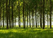 Árboles de álamo y polen blanco en un bosque en primavera Fotografía de archivo