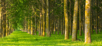 Árboles de álamo y polen blanco en un bosque en primavera Fotografía de archivo libre de regalías
