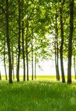 Árboles de álamo y polen blanco en un bosque en primavera Foto de archivo