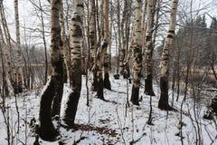 Árboles de abedul Imagenes de archivo