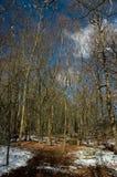 Árboles de abedul Fotos de archivo
