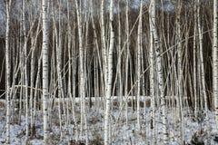 Árboles de abedul Imagen de archivo