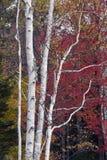 Árboles de abedul Foto de archivo