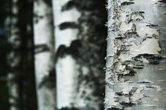 Árboles de abedul Foto de archivo libre de regalías