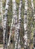 Árboles de abedul Imagen de archivo libre de regalías