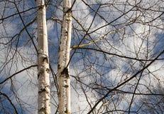 Árboles de abedul Fotos de archivo libres de regalías